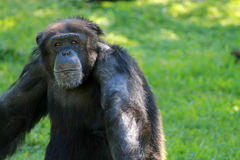 Old chimp portrait Royalty Free Stock Photography