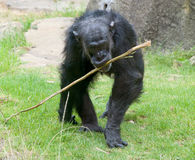 Old chimp. With prodding stick to get ants out of termite mounds Royalty Free Stock Photo