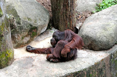 Old chimpanzee. Resting on it's back in a rock royalty free stock photos