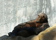 Old Chimpanzee. Nice Image of a relaxing Chimpanzee stock images