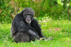 Old chimpanzee Royalty Free Stock Image
