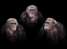 Old chimpanzee group royalty free stock photo