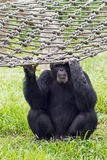 Old chimpanzee holding the rope net Stock Photos