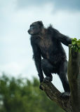 Old chimpanzee in open-air cage Stock Photos