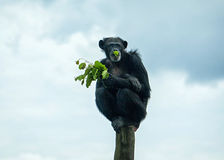 Old chimpanzee in open-air cage Royalty Free Stock Image