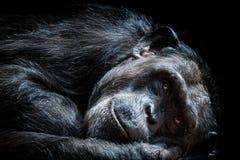 Old chimpanzee Pan Troglodytes. Portrait of the chimpanzee Pan Troglodytes stock photography
