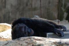 Old chimpanzee Stock Image