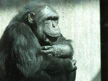 Old Chimpanzee Thinking. Here is an 35 year old chimpanzee thinking really hard, sitting in a corner Royalty Free Stock Photos