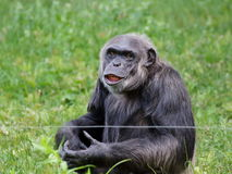 Old chimpanzee waitng - portrait Stock Photo