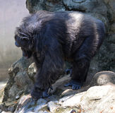 Old chimpanzee Stock Photo