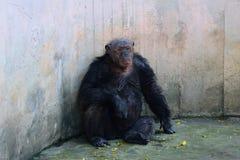 Old chimpanzee Stock Photos