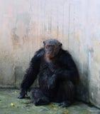 Old chimpanzee Stock Photo