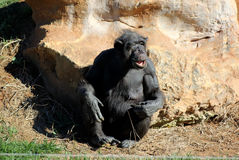 Old chimpanzee. In the zoo royalty free stock photos
