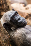 Old chimpanzee Stock Photography