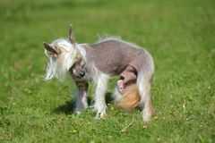 Old Chinese crested dog Stock Images