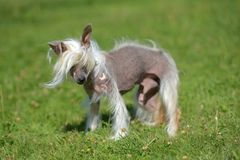 Old Chinese crested dog. On grass stock photography