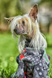 Old Chinese crested dog Royalty Free Stock Images
