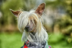 Old Chinese crested dog Royalty Free Stock Photos