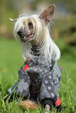Old Chinese crested dog Royalty Free Stock Photo