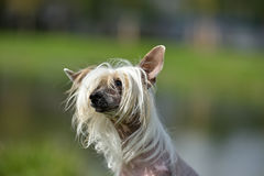 Old Chinese crested dog Stock Photo