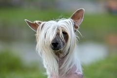 Old Chinese crested dog. In the summer in the park royalty free stock photography
