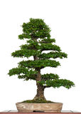 Old chinese elm as bonsai tree Stock Image