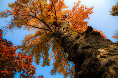 Old Chinese sweet gum Royalty Free Stock Images