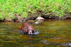 Old chocolate lab relaxing in stream. Old gray chocolate Labrador Retriever walking in stream in summer stock photography