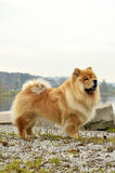 Old Chowchow dog standing next to the Zurich lake Royalty Free Stock Photography