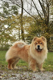 Old Chowchow dog. Very old Cream chowchow dog with natural green, forrest background Stock Photos