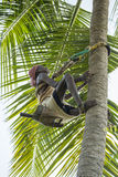 Old climber on coconut tree Royalty Free Stock Photography