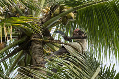 Old climber on coconut tree Stock Photography