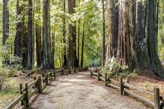 Free Old Coast Redwoods Along The Trail Royalty Free Stock Images - 139141459