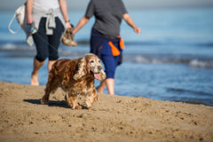 Old cocker spaniel at the beach. Owners walk an old cocker spaniel at the beach to keep it healthy Royalty Free Stock Image