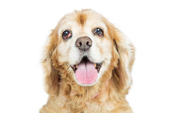Old Cocker Spaniel Dog With Prolapsed Eye Gland. Closeup photo of a senior Cocker Spaniel breed dog with a prolapsed third eyelid, called Cherry Eye royalty free stock images