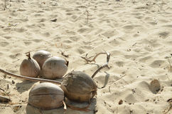 Old coconut on the sand Stock Images