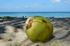 Old coconut on the beach Royalty Free Stock Image