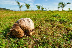 Old coconut on green grass royalty free stock image