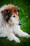 Old collie dog portrait Royalty Free Stock Image