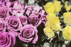 Old color photo of the roses Stock Photography