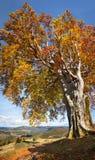 Old Colorful Tree, Autumn - Big size vertical Fall season Landsc Stock Photos