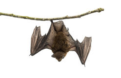 Old common bent-wing bat perched on a branch Royalty Free Stock Image