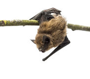 Old common bent-wing bat perched on a branch Stock Photography