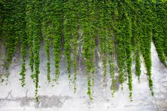 Old concrete wall covered with the green ivy Stock Image