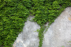 Old concrete wall covered with the green ivy Royalty Free Stock Photo