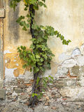 Old concrete wall with creeping plant Stock Images