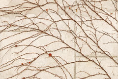 Old concrete wall with dried vine branch climbing on it Royalty Free Stock Images