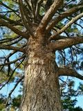 Old conifer tree. stock photo