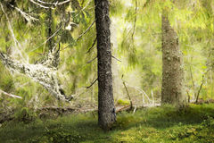 Old conifer tree in wilderness Royalty Free Stock Photos