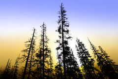 Old conifer trees at dawn stock images